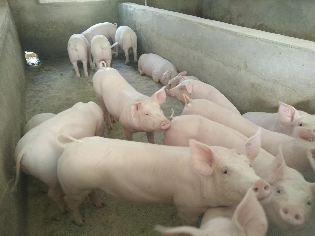 安徽今日仔猪价格今日