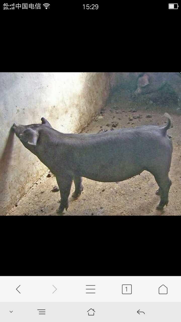 邯郸今日猪价今日报价