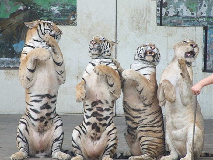 租赁羊驼海狮表演、桂平市、怎样提高知名度