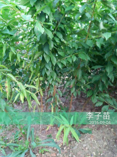 贵州安顺蜂糖李子树苗栽培技术