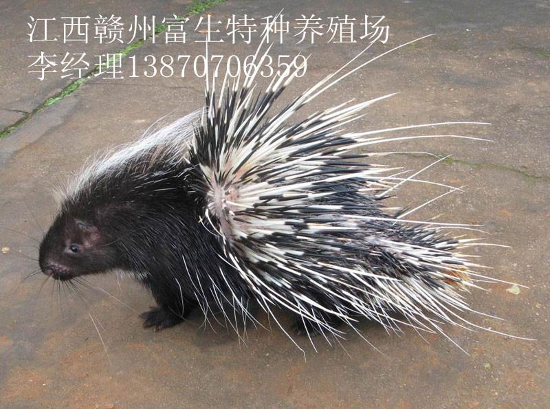 安徽宣城五香绝野豪猪种苗技术