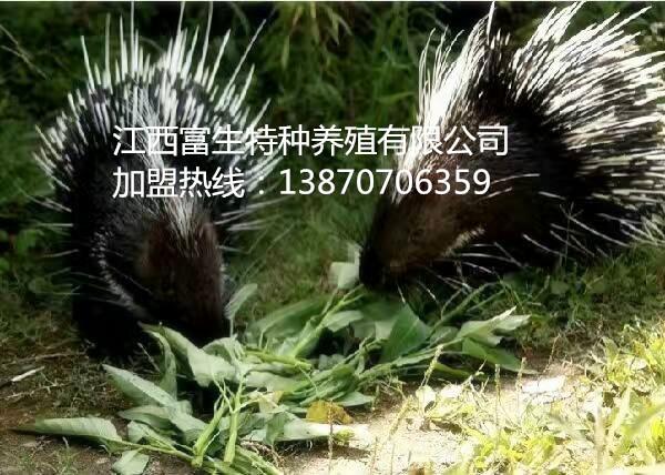 安徽蚌埠豪猪仔特种养殖如何加盟