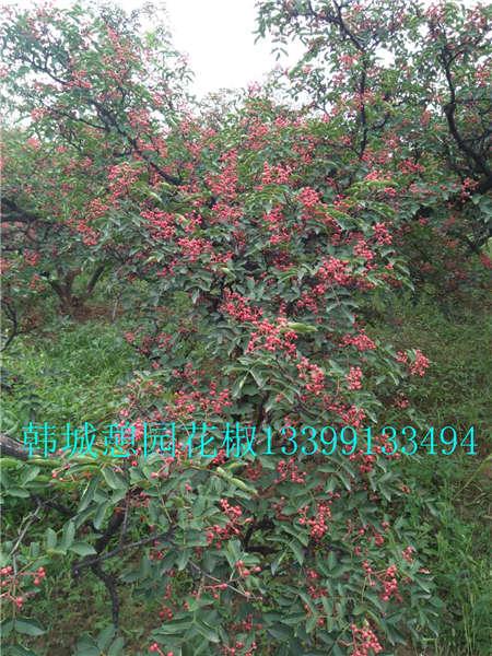 花椒树价格花椒树无刺花椒苗价格批发