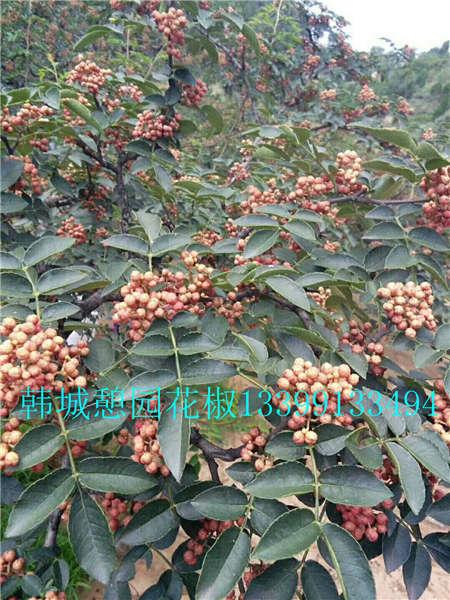 花椒树价格花椒树大红袍花椒苗出售