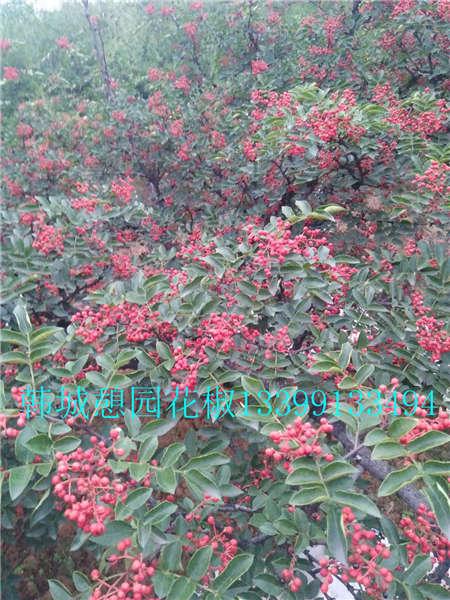 花椒树价格花椒树大红袍花椒苗价格