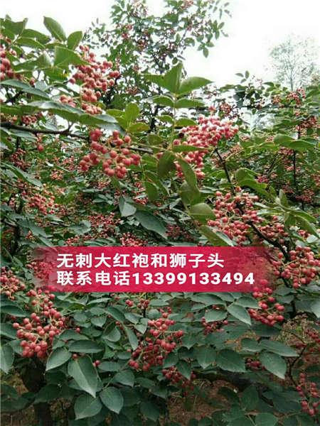 花椒树价格花椒树花椒苗基地基地