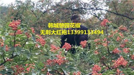 花椒树价格花椒树花椒苗基地出售
