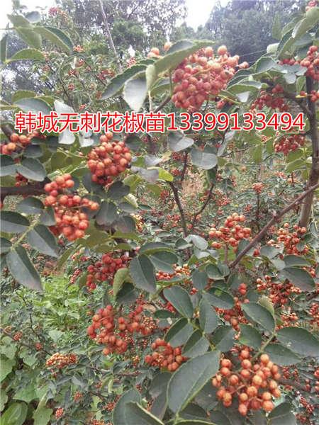 花椒树价格花椒树花椒苗基地价格