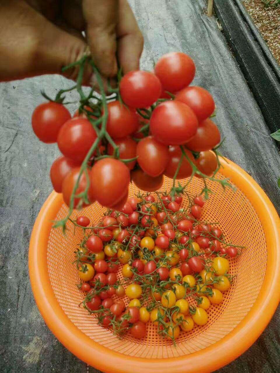 �幕�番茄管理的����`�^、番茄大棚信息咨�、芳�\�厥�