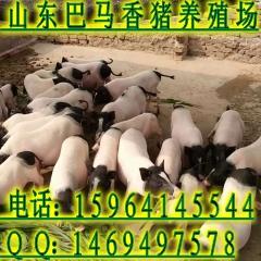 梧州市香猪苗什么价格小香猪养殖技术