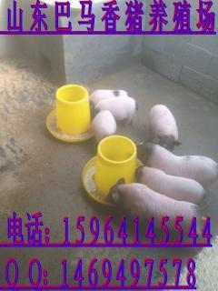 巴马香猪的养殖前景如何贺州市小香猪多少钱一只