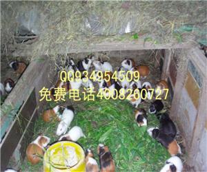 萍乡安源养殖豚鼠效益如何