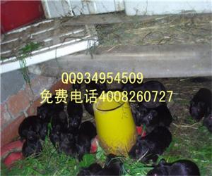 江西抚州东乡荷兰猪养殖基地