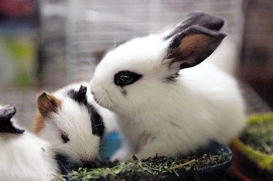 衡水垂耳兔批发