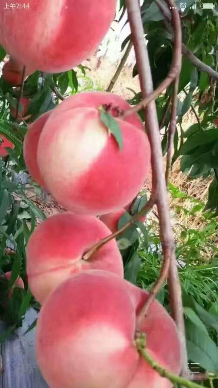 泾县哪里桃苗预定中齐鲁巨红桃苗价格