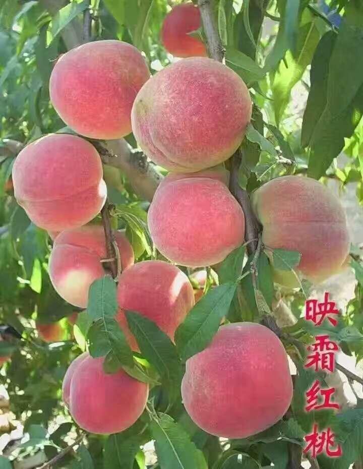 江门13公分桃苗预定中映霜红桃苗怎么卖