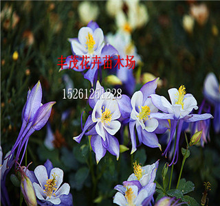 观赏向日葵种子种子一般发布价格