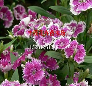 风铃草种子种子发布供应价格
