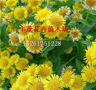 全国的甘野菊种子价格怎么卖