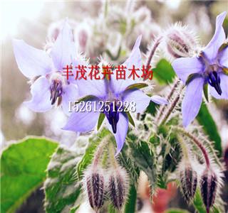 目前来说白花丁香种子批发价格怎么卖