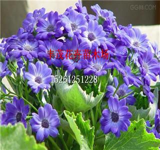 新采凤仙花种子价格怎么卖