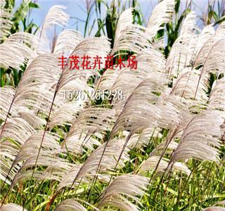 新的蛇目菊种子卖的价格