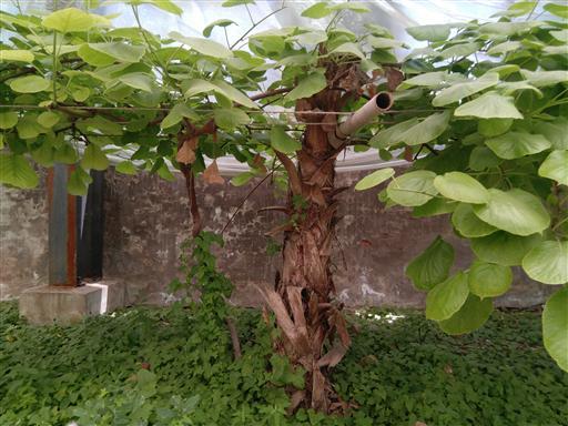 发周至原产地专家指导成活率高海沃德猕猴桃树苗