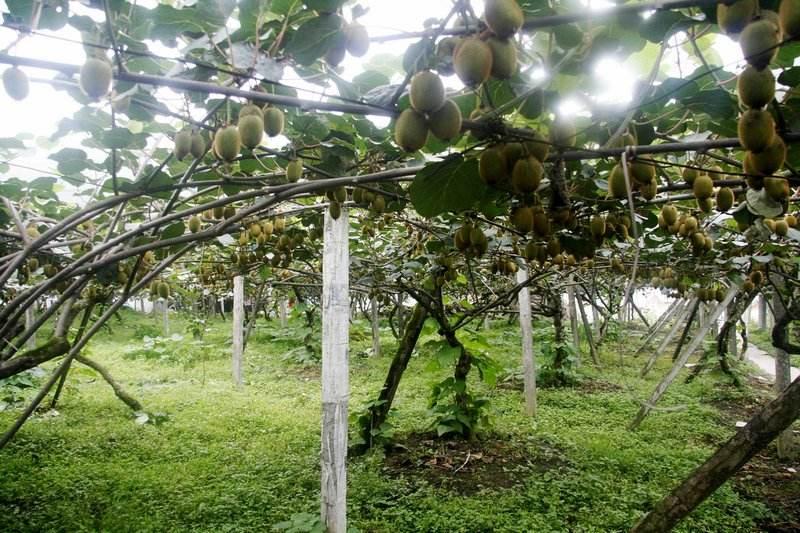 新西兰猕猴桃树苗