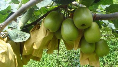 翠香猕猴桃树苗