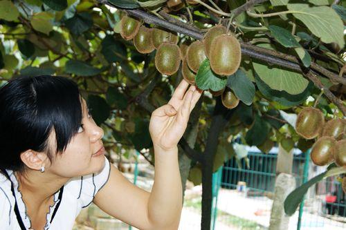 秦香猕猴桃苗木