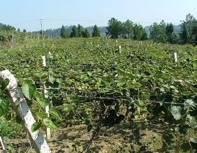 大量出售正宗原产地海沃德猕猴桃树苗