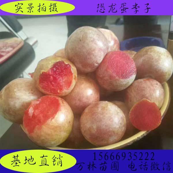 1.2米高大红袍李子苗