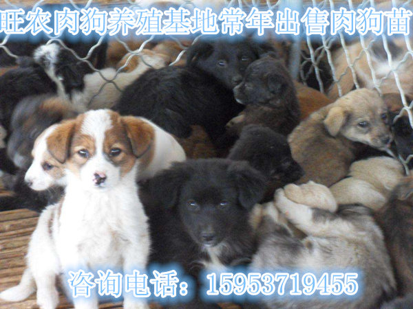 陕西商洛柞水县江西吉安夏季肉狗养殖场