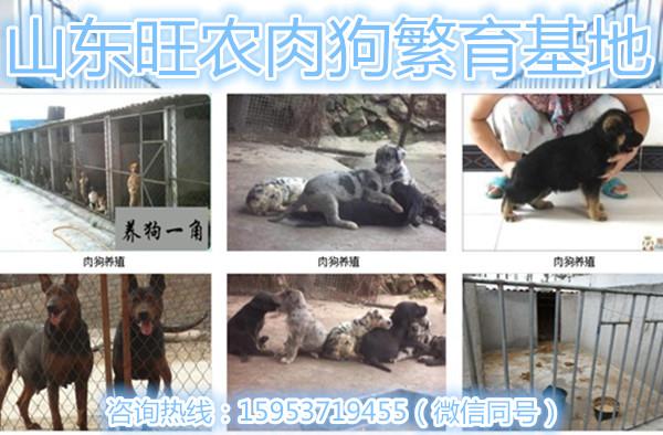 广东茂名高州农村秋季肉狗养殖技术资料