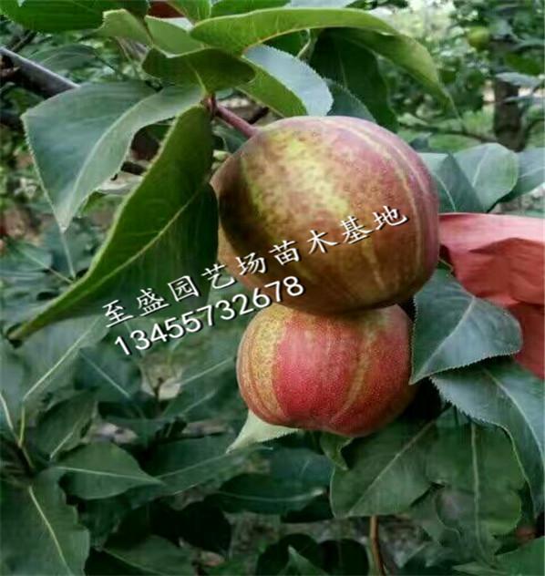 红香酥梨树苗5年生的哪里品种纯