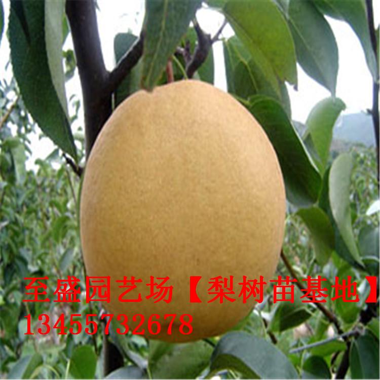 爱宕梨树苗1公分的专业销售