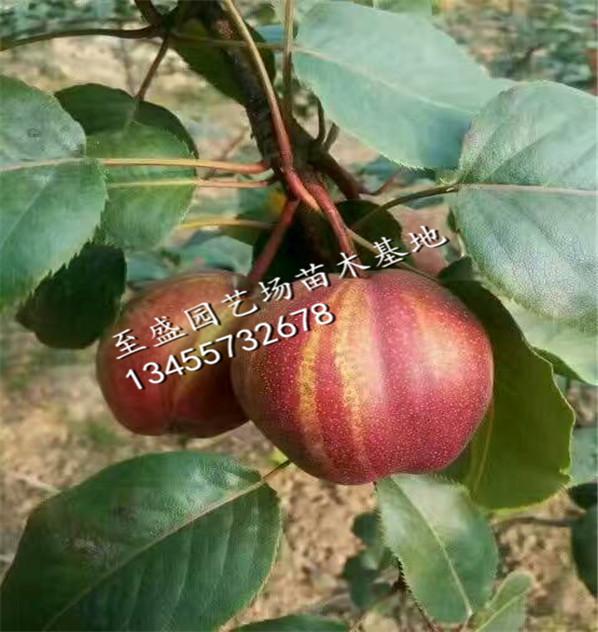 早红考密斯梨树苗1公分的专卖