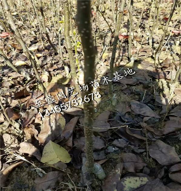 园黄梨树苗1公分的专业销售