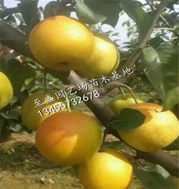 秋月梨树苗1公分的专业销售