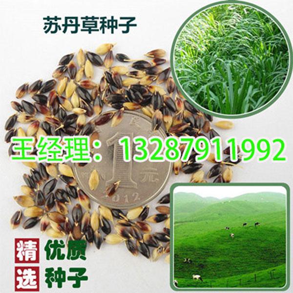 赣州-绿化草坪种子-绿化草坪籽-哪里有卖的-到哪里买