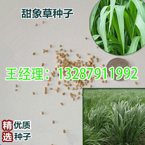湖南湘西州-甜高粱种子-公司-厂家