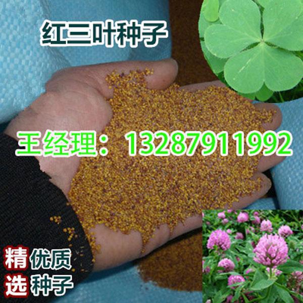 广东清远-甜高粱种子-联系电话-地址