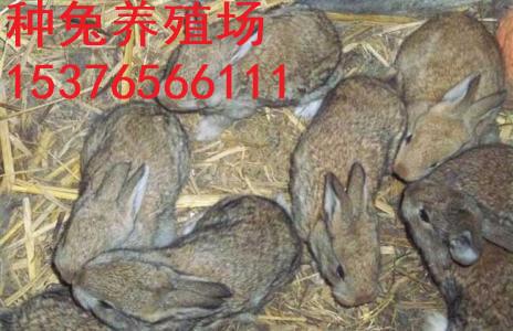商洛万翔种兔养殖场大量出售杂交野兔兔苗价格优惠