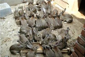 富裕县万翔种兔养殖野兔子养殖