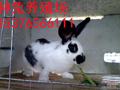 尚义县万翔种兔养殖野兔子养殖