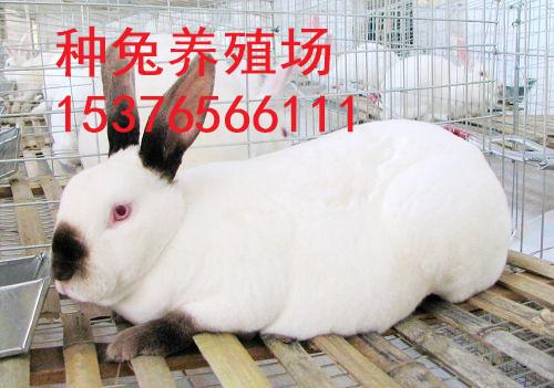 芮城县万翔种兔养殖野兔子养殖