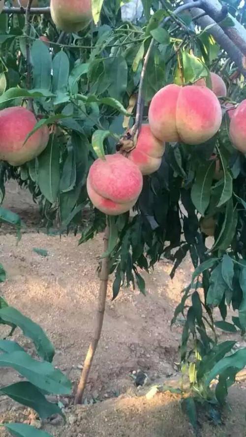 公司常年供应:果树苗木:【桃树苗】:新川中岛,莱山蜜,映霜红,中华寿桃