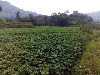 安徽蚌埠哪里可以买到花椒树苗