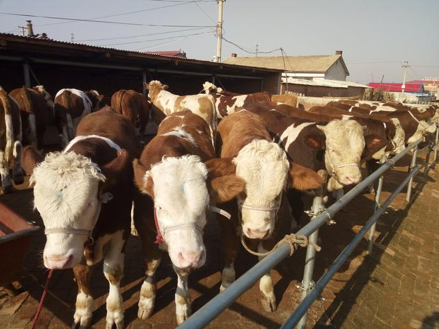 吉林黄牛犊价格 吉林黄牛犊行情 吉林黄牛犊报价 吉林黄牛犊多少钱 吉林黄牛犊供应基地