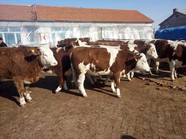 吉林良种牛合作社 吉林良种牛养殖场 吉林良种牛养殖基地 吉林良种牛价格 吉林良种牛繁育中心